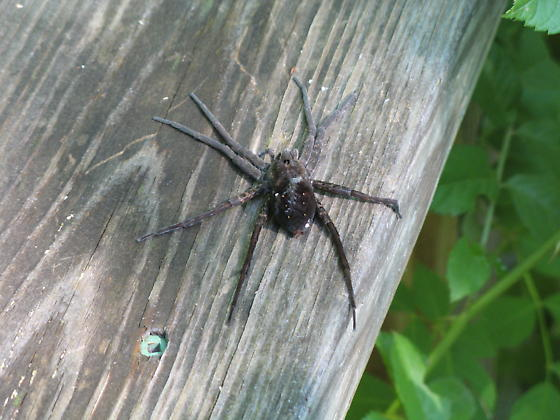 Is this a fishing spider? - Dolomedes vittatus