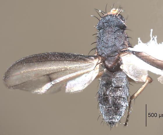 Tiny acalyptrate fly with wing markings - Trixoscelis? - Trixoscelis signifera