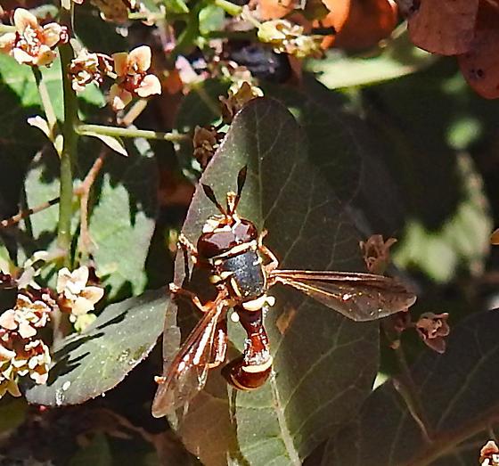 Thick-headed fly Physocephala maybe?? - Polybiomyia townsendi - male