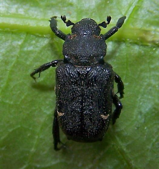 Cremastocheilus canaliculatus