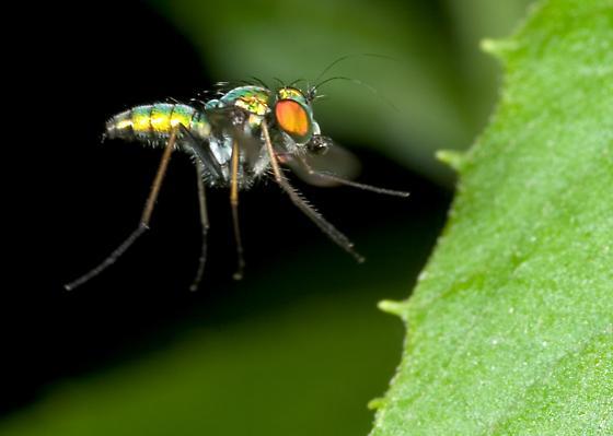 Longlegged Fly - Condylostylus