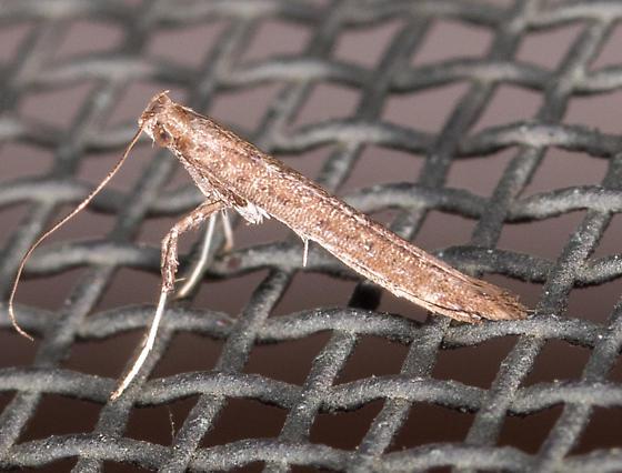 Caloptilia sp. for ID - Caloptilia