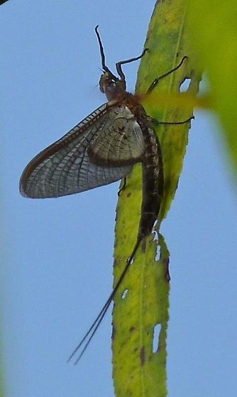 Short-tailed Mayfly - Hexagenia bilineata