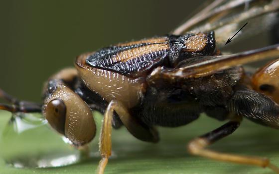 Ibaliid Wasp - Ibalia anceps