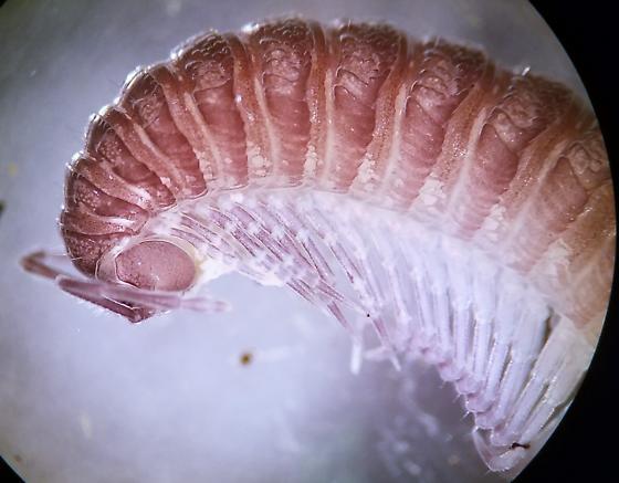 Pseudotremia male - Pseudotremia - male