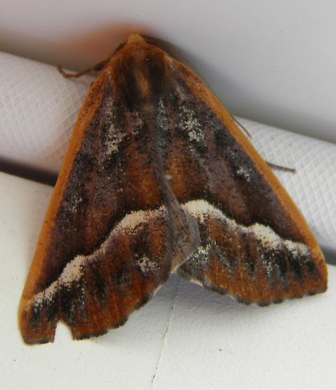 Moth - Caripeta aretaria - male