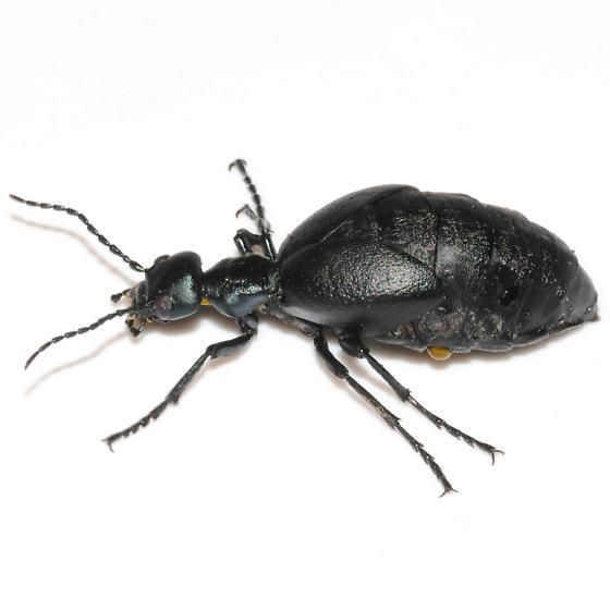 Meloe Oil Beetle - Meloe americanus - female