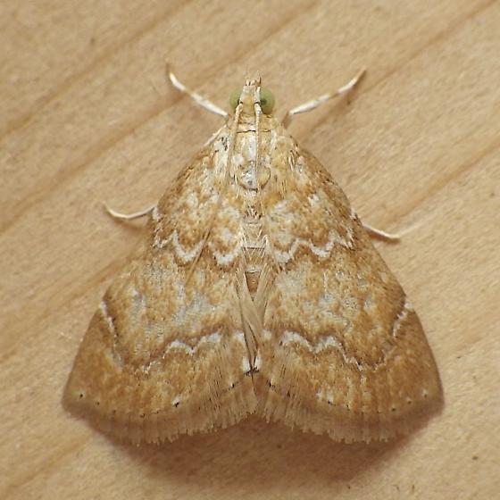 Crambidae: Glaphyria sequistrialis - Glaphyria sesquistrialis