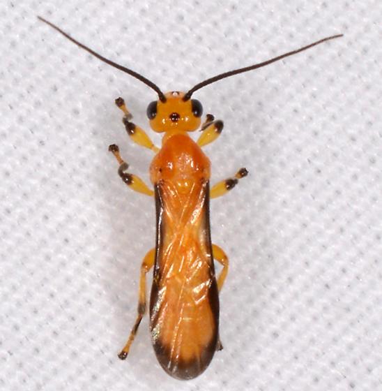 Ophion ? - Yelicones nigromarginatus