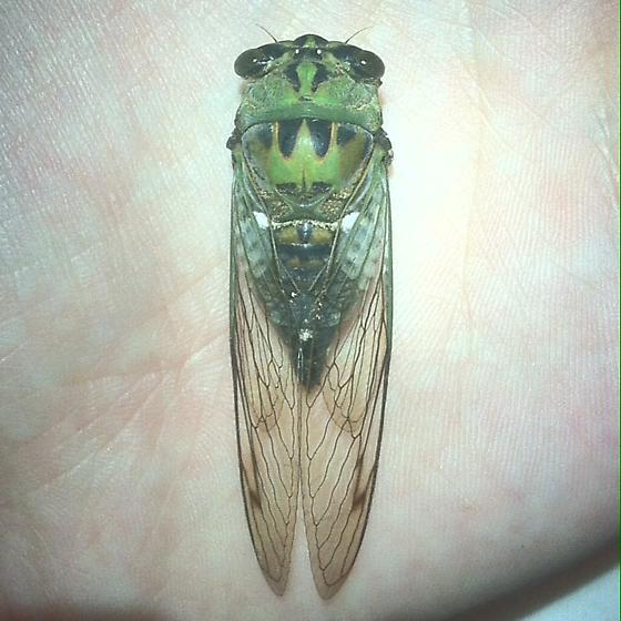 Annual Cicada - Unknown Species - Neotibicen winnemanna