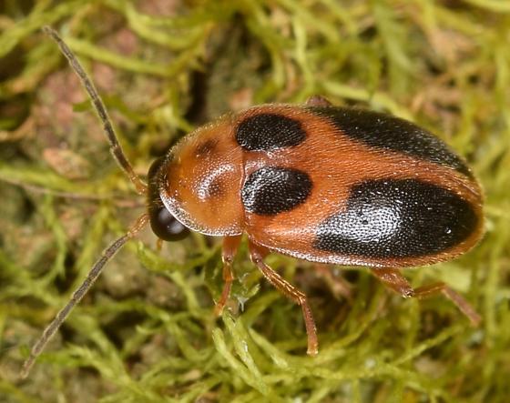 Beetle - Sacodes pulchella