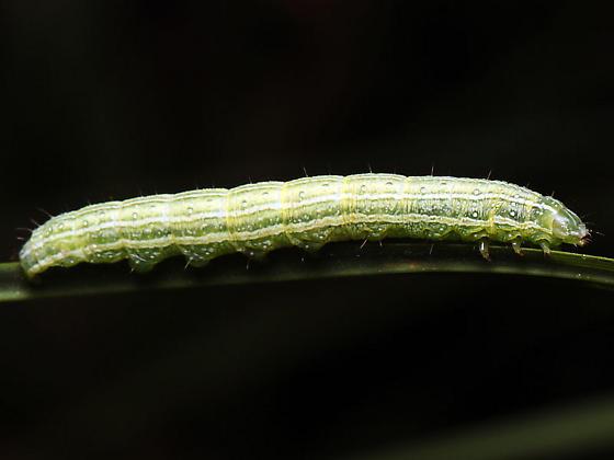 Caterpillar - Ogdoconta cinereola