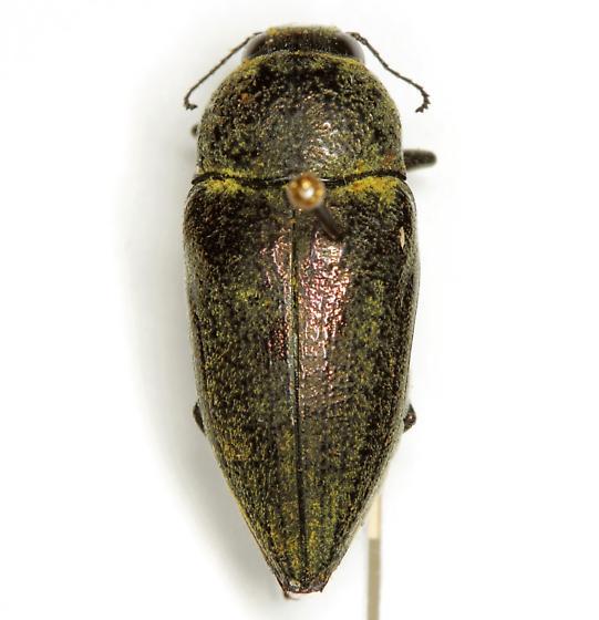 Gyascutus carolinensis Horn - Gyascutus carolinensis