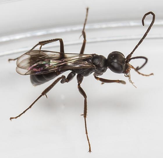 Spider Wasp? - Priocnemis hestia