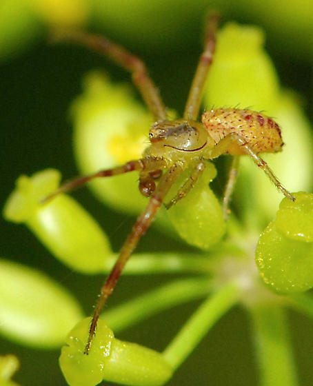 unknown spider - Mecaphesa - male