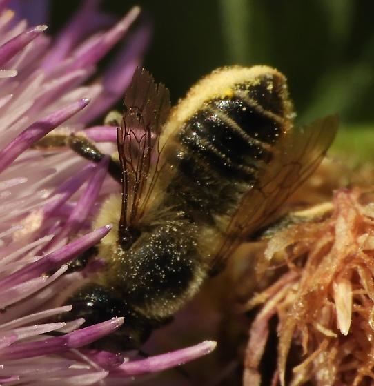 Megachilidae - Megachile perihirta - female