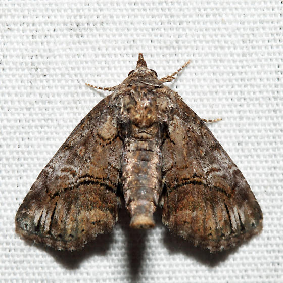 Pygmy Paectes - Paectes pygmaea