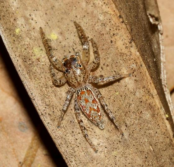 Hiding in a dead cabbage palm frond - Maevia michelsoni - female