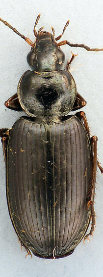 larger Carabid #4 - Agonum placidum