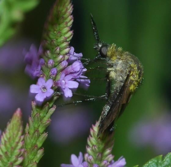 Hunchback Bee Fly - Lepidophora