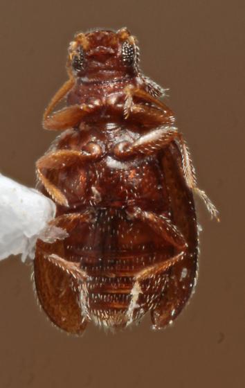 Latridiidae ? - Melanophthalma