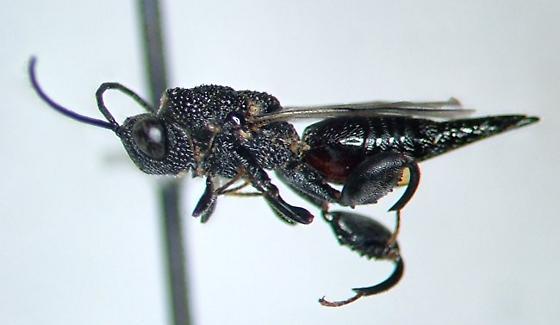 Phasgonophora sulcata - female