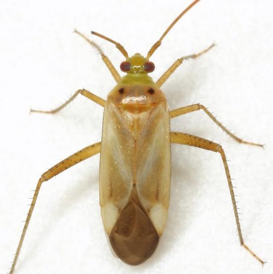 Alfalfa plant bug - Adelphocoris lineolatus