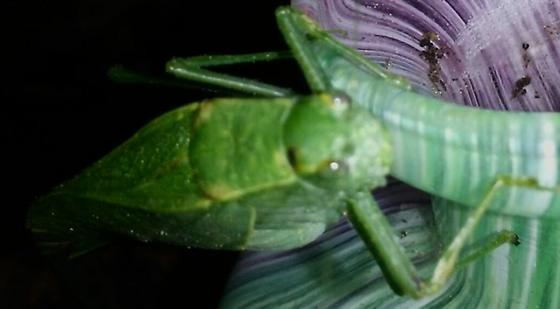 katydid or bush cricket? - Microcentrum rhombifolium - female