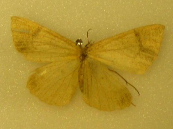 pale moth - Sericosema
