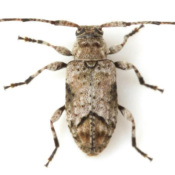Sternidius mimeticus (Casey) - Sternidius mimeticus