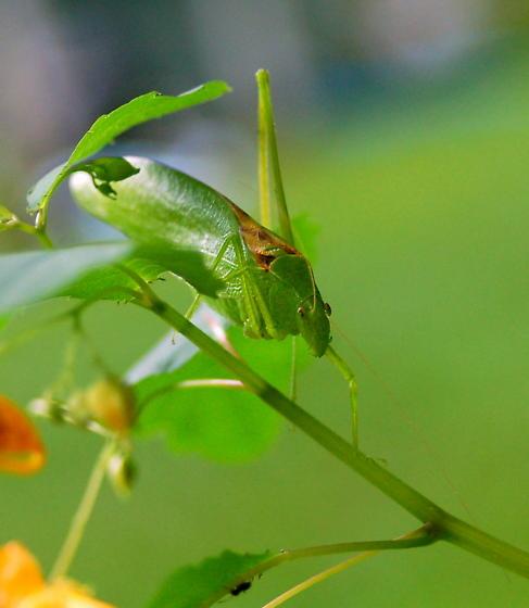 oblong wing katydid - Amblycorypha oblongifolia - male