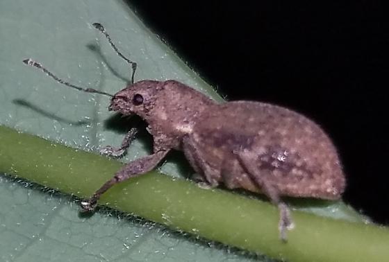 Beetle or perhaps a weevil? - Naupactus cervinus
