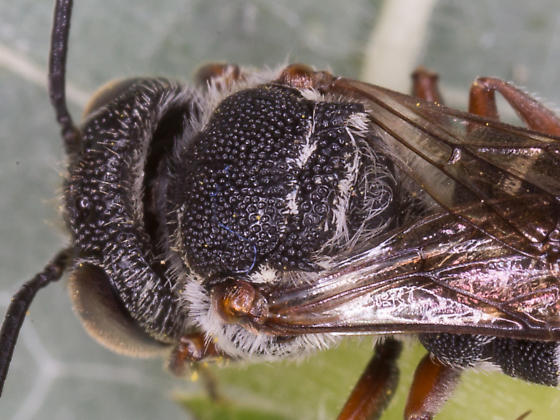 Male Cuckoo Leafcutter - Coelioxys octodentatus - male