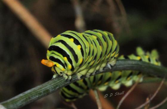 Black Swallowtail Displaying Osmeterium - Papilio polyxenes - Papilio polyxenes