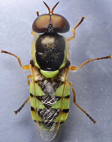 ? - Odontomyia cincta - male