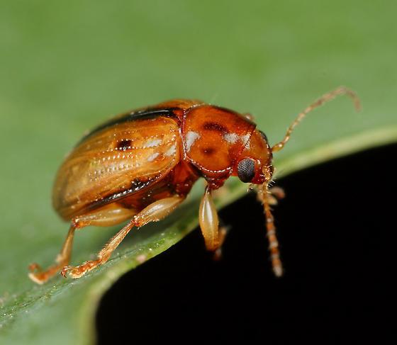 Coleoptera - Metachroma carolinense