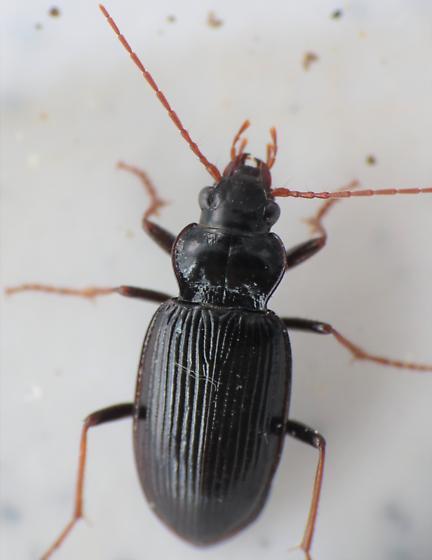 Garden Beetle - Nebria brevicollis