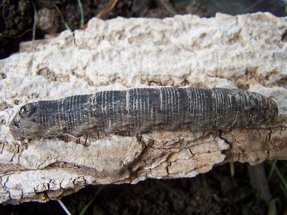 Dirty Brown Caterpillar - Sphecodina abbottii