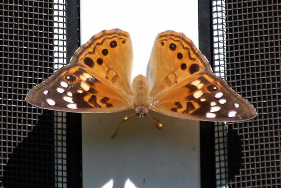 Hackberry Emperor - Asterocampa celtis  - Asterocampa celtis - female