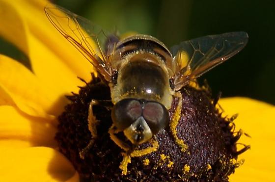 Syrphidae - Eristalis stipator - male