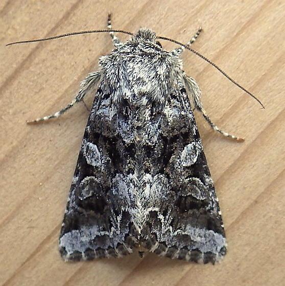 Noctuidae: Hadena ectrapela - Hadena ectrapela