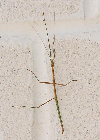 Walking stick bug - male