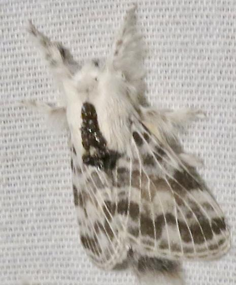 Small Tolype - Tolype notialis
