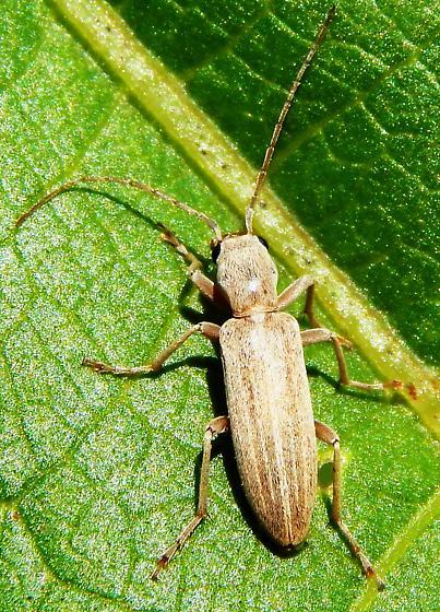 Beetle - Oxacis pallida