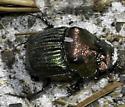 Dung Beetle - Phanaeus igneus - male