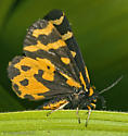 Another Wood Tiger Moth - Parasemia plantaginis - male