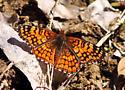 Orange Butterfly - Chlosyne acastus - male