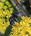 Black and White Wasp - Dolichovespula arctica