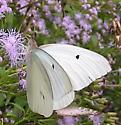 Giant White - Ganyra josephina - male