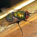 Common green bottle fly - Lucilia sericata